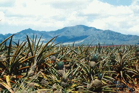 pineapple field Oahu